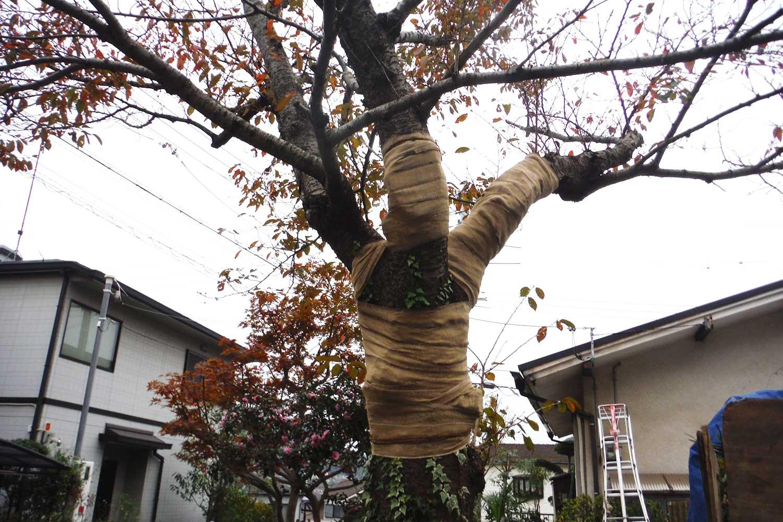 作業後の桜の木